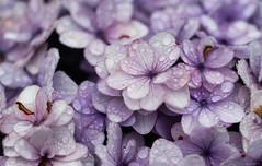 hydrangeas (Christine_S.) Tags: flowers rain raindrops purple lilac canon eos closeup macro mirrorless japan flowerphotography flower blossom bloom ef100mmf28l garden canoneosm5 ngc npc