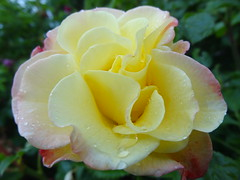After the Rain (evisdotter) Tags: rose ros rain regn drops flower blomma macro sooc
