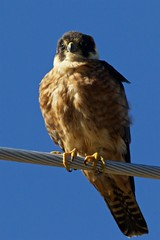 Waiting on the wire (Geoff Main) Tags: act australia australianhobbyfalcon bird canon7dmarkii canonef300mmf28lisiiusm canonefextender20xiii falcon jerrabomberrawetlands