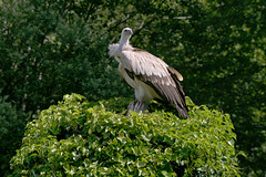 A Griffon vulture getting is prey (simon.michaut) Tags: vautour vulture griffon fauve vautourfauve arbre animal big birds bigbirds stay prey chasse hunt magestic oiseaux