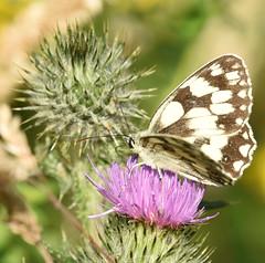 Marbled White - 3, Chinnor Hill Nature Reserve (rq uk) Tags: rquk nikon d750 butterfly marbledwhitemelanargiagalathea chinnorhillnaturereserve nikond750 afsnikkor70200mmf28efledvr afsteleconvertertc14eiii