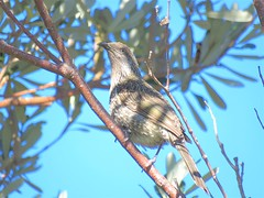 Anthochaera chrysoptera chrysoptera 22 (Barry M Ralley) Tags: seven mile beach bootibooti national park nsw barry m ralley barrymralley ausbird red wattlebird anthochaera carunculata anthochaeracarunculatacarunculata easternredwattlebird bootibootinationalpark