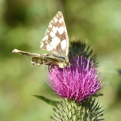 Marbled White - 4, Chinnor Hill Nature Reserve (rq uk) Tags: butterfly nikon d750 marbledwhitemelanargiagalathea chinnorhillnaturereserve nikond750 afsteleconvertertc14eiii rquk afsnikkor70200mmf28efledvr