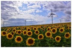 tournent les pales et tournesols... (BelSoq) Tags: tournesols sunflower sonnenblume girasole girasol éoliennes champ landscape paysage campagne nature rural meurtheetmoselle lorraine