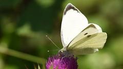 Small White, Chinnor Hill Nature Reserve (rq uk) Tags: rquk nikon d750 butterfly chinnorhillnaturereserve nikond750 afsnikkor70200mmf28efledvr afsteleconvertertc14eiii smallwhitepierisrapae