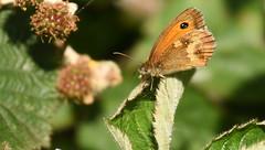 Gatekeeper, Chinnor Hill Nature Reserve (rq uk) Tags: rquk nikon d750 butterfly chinnorhillnaturereserve nikond750 afsnikkor70200mmf28efledvr afsteleconvertertc14eiii gatekeeper