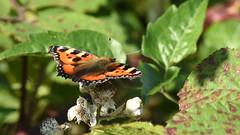 Large Tortoiseshell - 1, Chinnor Hill Nature Reserve (rq uk) Tags: rquk nikon d750 butterfly chinnorhillnaturereserve nikond750 afsnikkor70200mmf28efledvr afsteleconvertertc14eiii largetortoiseshellnymphalispolychloros