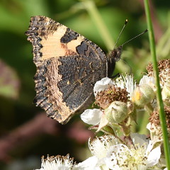 Large Tortoiseshell - 2, Chinnor Hill Nature Reserve (rq uk) Tags: rquk nikon d750 butterfly chinnorhillnaturereserve largetortoiseshellnymphalispolychloros nikond750 afsnikkor70200mmf28efledvr afsteleconvertertc14eiii