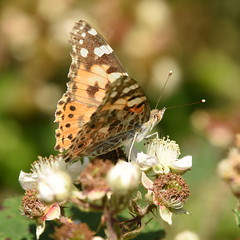 Painted Lady - 1, Chinnor Hill Nature Reserve (rq uk) Tags: rquk nikon d750 butterfly chinnorhillnaturereserve nikond750 afsnikkor70200mmf28efledvr afsteleconvertertc14eiii paintedladyvanessacardui