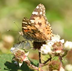 Painted Lady - 2, Chinnor Hill Nature Reserve (rq uk) Tags: rquk nikon d750 butterfly chinnorhillnaturereserve paintedladyvanessacardui nikond750 afsnikkor70200mmf28efledvr afsteleconvertertc14eiii