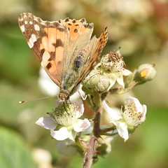 Painted Lady - 3, Chinnor Hill Nature Reserve (rq uk) Tags: rquk nikon d750 butterfly chinnorhillnaturereserve paintedladyvanessacardui nikond750 afsnikkor70200mmf28efledvr afsteleconvertertc14eiii