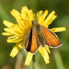 Large Skipper, Chinnor Hill Nature Reserve (rq uk) Tags: rquk nikon d750 butterfly chinnorhillnaturereserve nikond750 afsnikkor70200mmf28efledvr afsteleconvertertc14eiii largeskipperochlodessylvanus