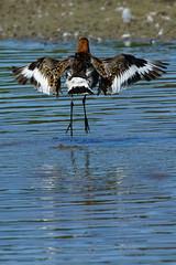 DSC06161 - Black tailed Godwit (steve R J) Tags: black tailed godwit fingringhoe wick ewt reserve colchester essex birds british