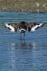 DSC06159 - Black tailed Godwit (steve R J) Tags: black tailed godwit fingringhoe wick ewt reserve colchester essex birds british