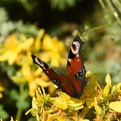 Peacock - 1, Chinnor Hill Nature Reserve (rq uk) Tags: rquk nikon d750 butterfly chinnorhillnaturereserve nikond750 afsnikkor70200mmf28efledvr afsteleconvertertc14eiii peacock