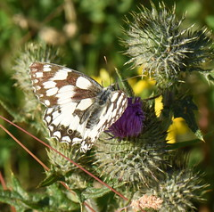 Marbled White - 1, Chinnor Hill Nature Reserve (rq uk) Tags: rquk nikon d750 nikond750 afsvrmicronikkor105mmf28gifed butterfly marbledwhitemelanargiagalathea chinnorhillnaturereserve