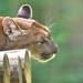 Puma rêveur