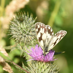 Marbled White - 2, Chinnor Hill Nature Reserve (rq uk) Tags: rquk nikon d750 butterfly marbledwhitemelanargiagalathea chinnorhillnaturereserve nikond750 afsnikkor70200mmf28efledvr afsteleconvertertc14eiii