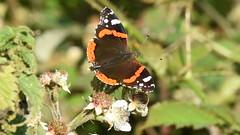 Red Admiral - 1, Chinnor Hill Nature Reserve (rq uk) Tags: rquk nikon d750 butterfly chinnorhillnaturereserve nikond750 afsnikkor70200mmf28efledvr afsteleconvertertc14eiii redadmiral