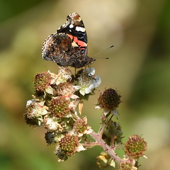 Red Admiral - 2, Chinnor Hill Nature Reserve (rq uk) Tags: rquk nikon d750 butterfly chinnorhillnaturereserve redadmiral nikond750 afsnikkor70200mmf28efledvr afsteleconvertertc14eiii