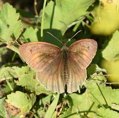 Meadow Brown, Chinnor Hill Nature Reserve (rq uk) Tags: rquk nikon d750 butterfly chinnorhillnaturereserve nikond750 afsnikkor70200mmf28efledvr afsteleconvertertc14eiii meadowbrown