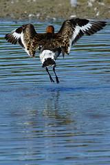 DSC06162 - Black tailed Godwit (steve R J) Tags: black tailed godwit fingringhoe wick ewt reserve colchester essex birds british