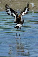 DSC06160 - Black tailed Godwit (steve R J) Tags: black tailed godwit fingringhoe wick ewt reserve colchester essex birds british