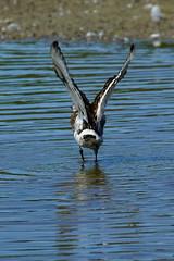 DSC06158 - Black tailed Godwit (steve R J) Tags: black tailed godwit fingringhoe wick ewt reserve colchester essex birds british