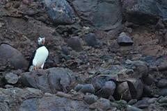 IMG_0326 (LezFoto) Tags: puffin fraterculaarctica cliffs aberdeenshire scotland unitedkingdom canoneos700d sigma 700d canon 120400mmf4556dgapooshsm digitalslr dslr canonphotography sigmalens coastalbirds necoastline scottishcoastline northeastcoastline nescotland alcidae auk seabird puffins
