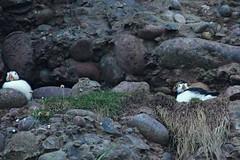IMG_0324 (LezFoto) Tags: puffin fraterculaarctica cliffs aberdeenshire scotland unitedkingdom canoneos700d sigma 700d canon 120400mmf4556dgapooshsm digitalslr dslr canonphotography sigmalens coastalbirds necoastline scottishcoastline northeastcoastline nescotland alcidae auk seabird puffins