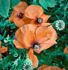 klaproos (delnaet) Tags: poppies klaproos coquelicots bloem fleur flower amapolas roja rood rouge red rot