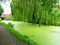 Very green canal at Preston (Tony Worrall) Tags: preston lancs lancashire city welovethenorth nw northwest north update place location uk england visit area attraction open stream tour country item greatbritain britain english british gb capture buy stock sell sale outside outdoors caught photo shoot shot picture captured ilobsterit instragram photosofpreston ashtononribble ashton green weeds canal water wet natural scenic lancastercanal willow drink trees overhang