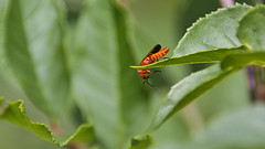 Weichkäfer 3 (Chridage) Tags: beetle weichkäfer käfer bug insekt insect softbeetle