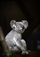 (Emmanuel Nalli) Tags: wildlife koala bear mini cute beauty animal animals