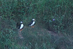 IMG_0352 (LezFoto) Tags: puffin fraterculaarctica cliffs aberdeenshire scotland unitedkingdom canoneos700d sigma 700d canon 120400mmf4556dgapooshsm digitalslr dslr canonphotography sigmalens coastalbirds necoastline scottishcoastline northeastcoastline nescotland alcidae auk seabird puffins