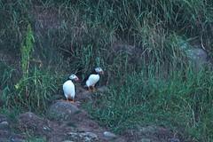 IMG_0351 (LezFoto) Tags: puffin fraterculaarctica cliffs aberdeenshire scotland unitedkingdom canoneos700d sigma 700d canon 120400mmf4556dgapooshsm digitalslr dslr canonphotography sigmalens coastalbirds necoastline scottishcoastline northeastcoastline nescotland alcidae auk seabird puffins