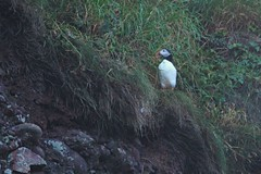 IMG_0341 (LezFoto) Tags: puffin fraterculaarctica cliffs aberdeenshire scotland unitedkingdom canoneos700d sigma 700d canon 120400mmf4556dgapooshsm digitalslr dslr canonphotography sigmalens coastalbirds necoastline scottishcoastline northeastcoastline nescotland alcidae auk seabird puffins