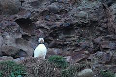 IMG_0327 (LezFoto) Tags: puffin fraterculaarctica cliffs aberdeenshire scotland unitedkingdom canoneos700d sigma 700d canon 120400mmf4556dgapooshsm digitalslr dslr canonphotography sigmalens coastalbirds necoastline scottishcoastline northeastcoastline nescotland alcidae auk seabird puffins