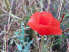 Hochsommer (borntobewild1946) Tags: mohn klatschmohn feld blüte blossom field copyrightbyberndloosborntobewild1946 nrw nordrheinwestfalen rheinland rhinearea