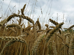 Hochsommer (borntobewild1946) Tags: kornfeld getreide getreidefeld copyrightbyberndloosborntobewild1946 nrw nordrheinwestfalen rheinland rhinearea