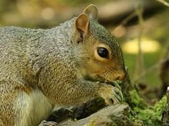 Chipper the Grey Squirrel  (Explored) (Bogger3.) Tags: greysquirrel chipper closeup feeding log woodedarea eyereflection canon7dmk2 canon100x400lens fullzoom handheld nuts