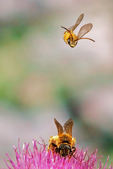Furchenbiene (JS Highspeed Photography) Tags: wildbiene biene highspeed bee fuji xe3 tessar furchenbiene
