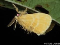 Artaxa sp. (GeeC) Tags: nygmiini tatai animalia arthropoda nature insecta lepidoptera lymantriinae kohkongprovince cambodia noctuoidea artaxa erebidae butterfliesmoths tussockmoths khumruesseichrum