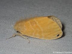 Artaxa sp. nr tahuna (GeeC) Tags: nygmiini tatai animalia arthropoda nature insecta lepidoptera lymantriinae kohkongprovince cambodia noctuoidea artaxa erebidae butterfliesmoths tussockmoths ឃុំឫស្សីជ្ kohkong