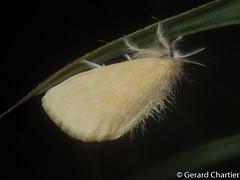 Tribe: Nygmiini (GeeC) Tags: nygmiini noctuoidea animalia nature arthropoda lepidoptera lymantriinae kohkongprovince cambodia insecta tatai erebidae butterfliesmoths tussockmoths ឃុំឫស្សីជ្ kohkong