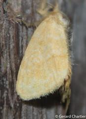 Tribe: Nygmiini (GeeC) Tags: nygmiini noctuoidea animalia nature arthropoda lepidoptera lymantriinae kohkongprovince cambodia insecta tatai erebidae butterfliesmoths tussockmoths