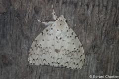 Lymantria sp. (GeeC) Tags: tatai animalia lymantria nature arthropoda lepidoptera lymantriinae kohkongprovince cambodia insecta noctuoidea erebidae tussockmoths