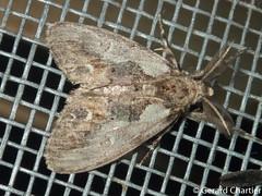 Olene mendosa (GeeC) Tags: tatai animalia arthropoda olenemendosa nature insecta olene lymantriinae kohkongprovince cambodia lepidoptera noctuoidea erebidae butterfliesmoths tussockmoths ឃុំឫស្សីជ្ kohkong
