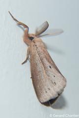 Laelia sp. (GeeC) Tags: tatai animalia arthropoda nature insecta lepidoptera lymantriinae kohkongprovince cambodia noctuoidea laelia erebidae butterfliesmoths tussockmoths