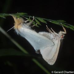 Laelia sp. (GeeC) Tags: tatai animalia arthropoda nature insecta lepidoptera lymantriinae kohkongprovince cambodia noctuoidea laelia erebidae butterfliesmoths tussockmoths khumruesseichrum